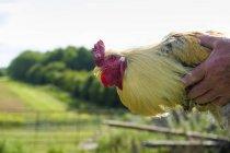 Homme tenant un poulet adult — Photo de stock