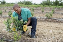 Uomo esaminando fila di arbusti di mirtillo — Foto stock