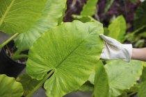 Женщина изучает листья тропического растения — стоковое фото