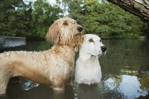 Golden labradoodle and small dog — Stock Photo