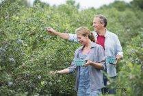 Coppia raccogliendo frutti di bosco da cespugli — Foto stock