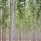 Poplar trees plantation — Stock Photo