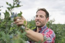 Man picking  blueberries — Stock Photo
