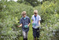 Boys picking berry fruits from bushes — Stock Photo