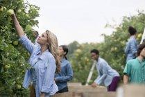 Gens de cueillette des pommes dans les arbres — Photo de stock
