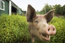 Porco na fazenda orgânica — Fotografia de Stock