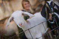 White and black goats. — Stock Photo
