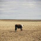 Корова стоящая в открытом поле — стоковое фото