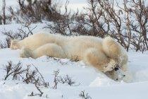 Полярного ведмедя в дикій природі — стокове фото