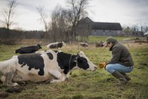 Male farmer tending cows — Stock Photo