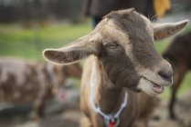 Small dairy farm with goat. — Stock Photo