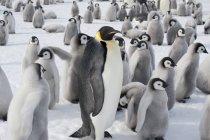 Група Імператорські пінгвіни — стокове фото