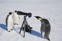 Імператорські пінгвіни, дивлячись на камеру — стокове фото