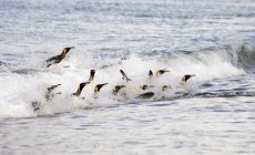 King penguins surfing on the waves — Stock Photo