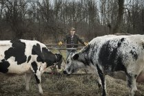 Farmer working on farm and tending cows. — Stock Photo