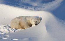 Eisbären in freier Wildbahn — Stockfoto