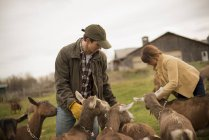 Farmers working and tending goats — Stock Photo