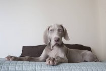 Weimaraner puppy on bed — Stock Photo