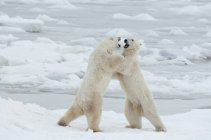 Polar bears fighting on snow — Stock Photo