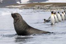 Foca da pelliccia antartica e pinguini — Foto stock
