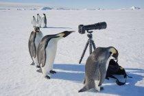 Emperor penguins looking at camera — Stock Photo