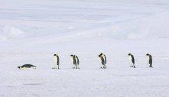 Рядок Імператорські пінгвіни — стокове фото