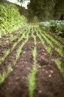 Garten gepflanzt mit Reihen von grünen Triebe — Stockfoto