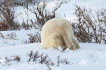 Polar bear in the wild. — Stockfoto
