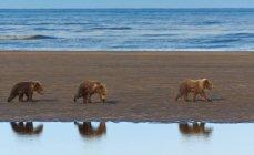 Cuccioli di orso bruno — Foto stock