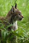 Canada Lynxin in grass — Stock Photo