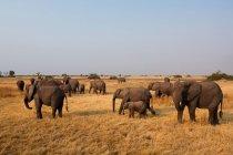 Африканський слон стада — стокове фото