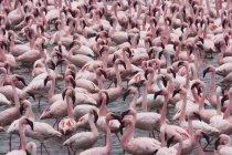 Lesser flamingos on lake — Stock Photo