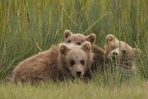 Brown bear cubs — Stock Photo