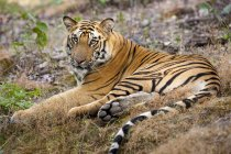 Adult tiger lying on the ground. — Stock Photo