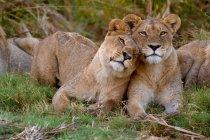 Leoni africani che si strofinano a vicenda — Foto stock