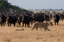 African lion and buffaloes at grassland — Stock Photo