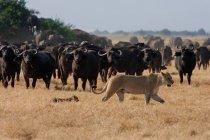 Afrikanischen Löwen und Büffel auf Grünland — Stockfoto
