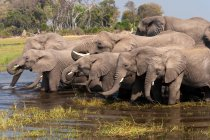 African elephants drinking water in pond — Stock Photo