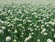 Große Ernte von blühenden süßen Zwiebeln — Stockfoto