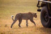 Leopard walking near touristic car — Stock Photo
