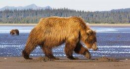 Brown bears, Alaska, USA — Stock Photo