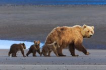 Brown bear sow and cubs — Stock Photo