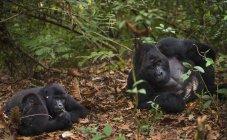 Juvenil y los gorilas de montaña - foto de stock