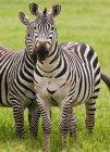 Plains zebras, Ngorongoro Conservation Area — Stock Photo