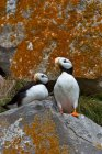 Puffins on lichen-covered cliff. — Stock Photo