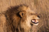 Afrikanischer Löwe knurrt — Stockfoto