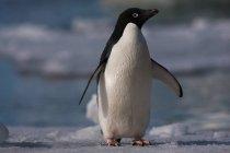 Пінгвін Аделі в дикій природі — стокове фото