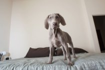 Weimaraner puppy standing on a bed. — Stock Photo