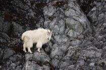 Горные козы в Glacier Bay — стоковое фото