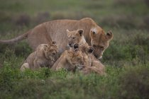 Löwenfamilie und ihre Jungen — Stockfoto